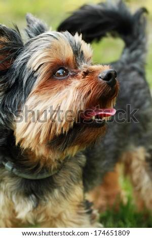 Yorkshire terrier outside on walk - stock photo