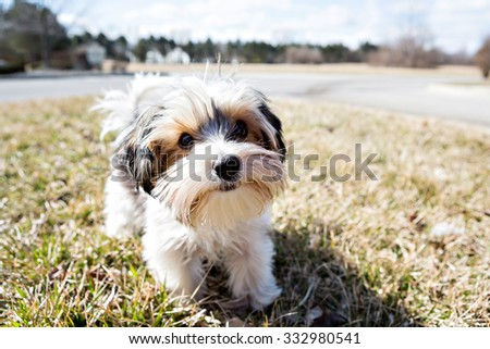 Yorkshire Terrier outside with blue skies - stock photo