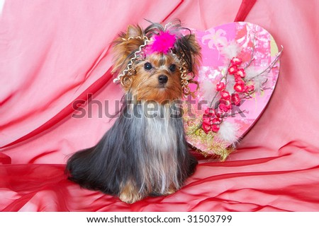 yorkshire terrier. picture  for  Valentin`s day