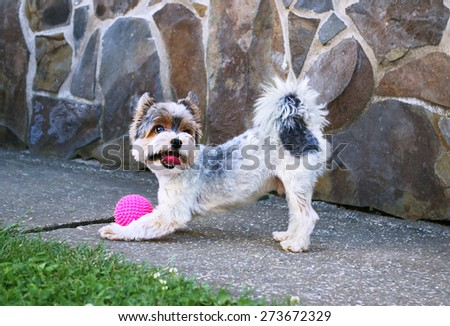 Yorkshire terrier playing with pink  ball - stock photo