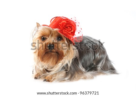 Yorkshire terrier portrait in red hat isolated on white and looking at camera