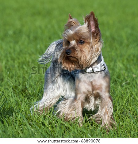 Yorkshire terrier portrait on green grass background - stock photo