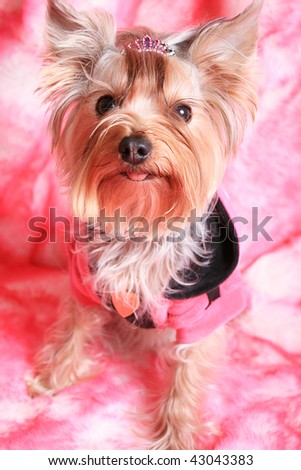 Yorkshire terrier portrait on pink background
