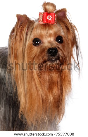 Yorkshire Terrier Portrait on white background.
