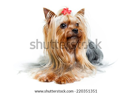 Yorkshire terrier posing in studio
