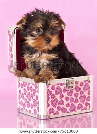 Yorkshire Terrier puppie