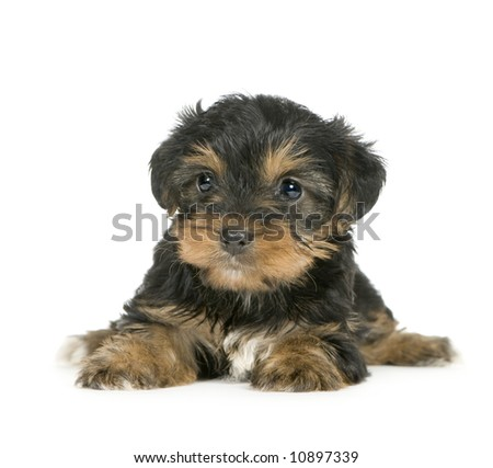 Yorkshire Terrier puppies (1 month) in front of a white background - stock photo