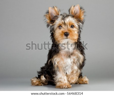 Yorkshire Terrier puppies on a gray background. Not isolated.