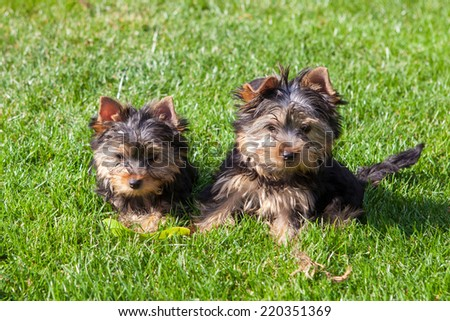 Yorkshire terrier puppies playing on the lawn