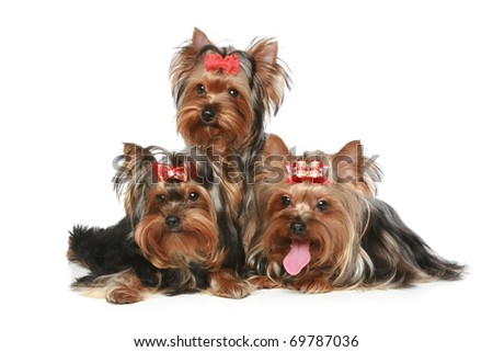 Yorkshire Terrier Puppies posing on a white background - stock photo