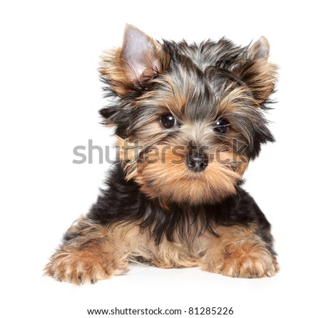 Yorkshire terrier puppy. Close-up portrait on white background