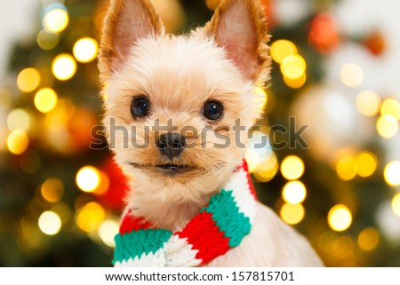 Yorkshire Terrier puppy dog in a Christmas - stock photo