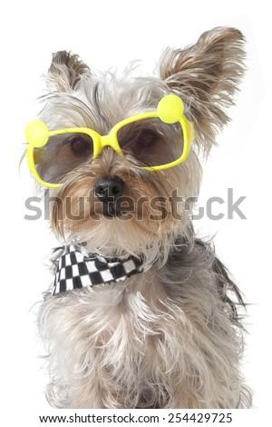 Yorkshire Terrier puppy dog wearing bandana and tiny sunglasses, isolated on white background - stock photo