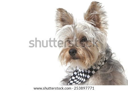 Yorkshire Terrier puppy dog wearing bandana, isolated on white background with copy space included - stock photo