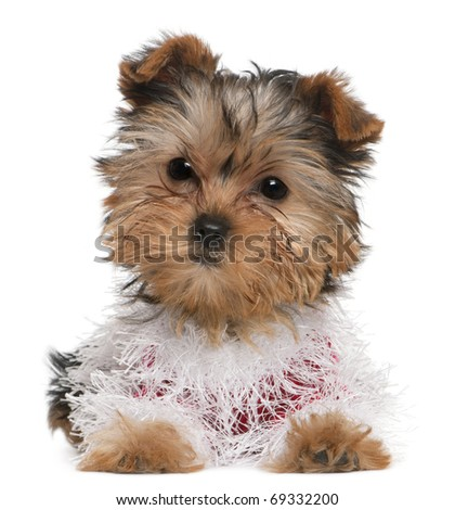 Yorkshire Terrier puppy dressed up, 3 months old, lying in front of white background - stock photo