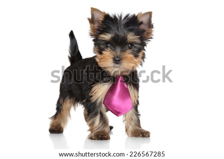 Yorkshire Terrier puppy in a pink tie on white background