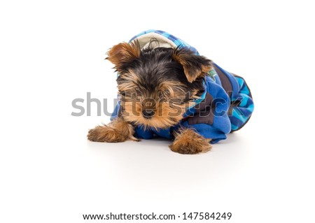 Yorkshire Terrier puppy in clothes - stock photo