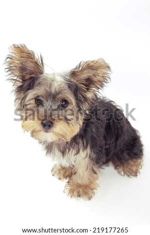 Yorkshire terrier puppy, isolated on white  - stock photo