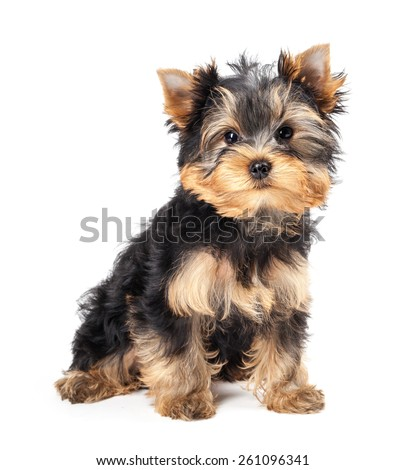 Yorkshire Terrier puppy isolated on white background