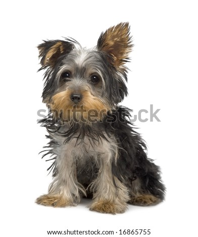 Yorkshire Terrier puppy (3 months) in front of a white background - stock photo