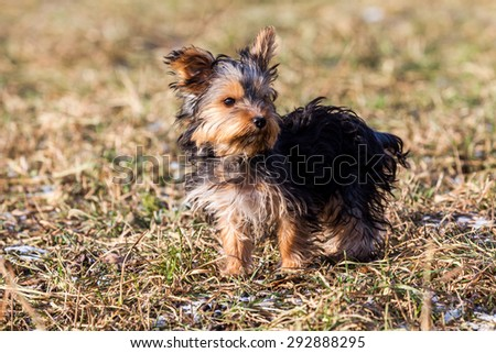 Yorkshire Terrier puppy on a meadow