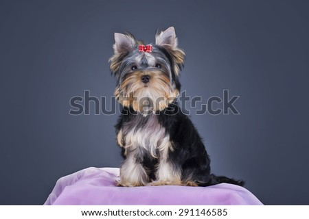 Yorkshire terrier puppy on an isolated background - stock photo