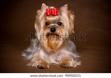 Yorkshire terrier puppy on background - stock photo