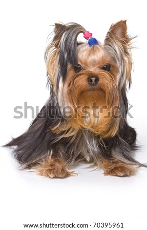 Yorkshire terrier puppy on white
