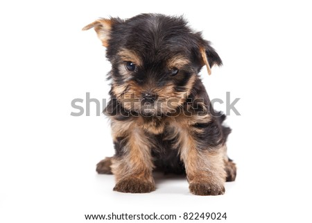 Cute Little Yorkshire Terrier Puppy Isolated Stock Photo 86841349 ...