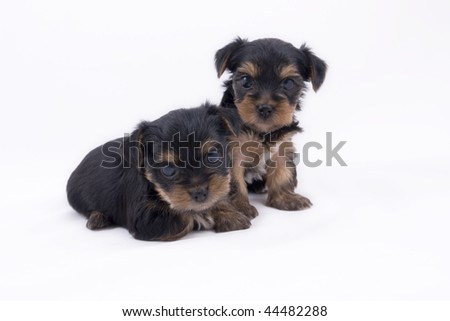 Yorkshire terrier puppy on white background. - stock photo