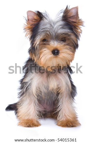 Yorkshire terrier puppy on white background - stock photo