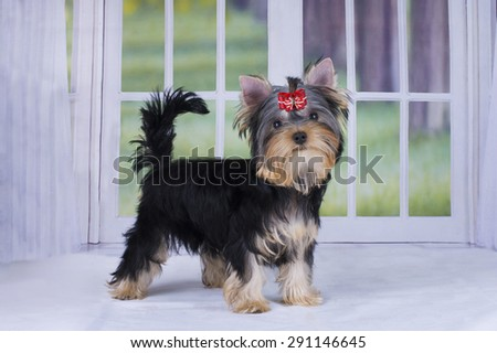 Yorkshire Terrier puppy playing in a country house - stock photo
