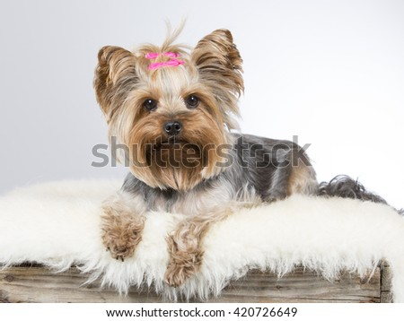 Yorkshire terrier puppy portrait. The dog is laying on a wooden antique box. Image taken in a studio. - stock photo