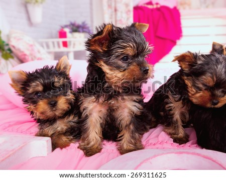Yorkshire Terrier puppy. Puppies of the Yorkshire terrier. Yorkshire terrier puppy 4 weeks. - stock photo
