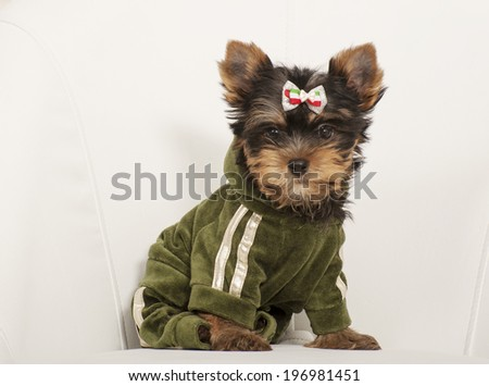 yorkshire terrier puppy      Save to a Lightbox ?           Find Similar Images     Share ?    yorkshire terrier puppy  - stock photo