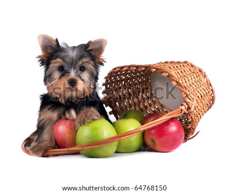 Yorkshire terrier puppy sits near a basket with apples