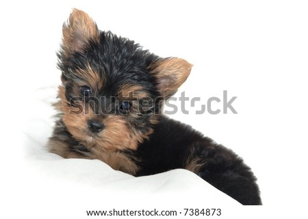 Yorkshire Terrier puppy sitting against white background - stock photo