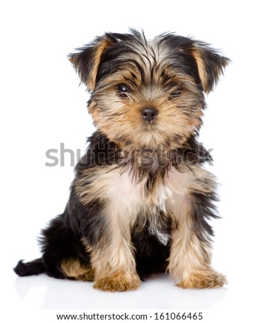 Yorkshire Terrier puppy sitting in front. isolated on white background - stock photo