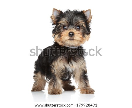 Yorkshire terrier puppy stand on a white background - stock photo
