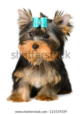 yorkshire terrier puppy the age of 2 month isolated on white - stock photo