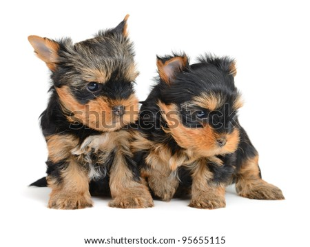 yorkshire terrier puppy the age of 1 month isolated on  white