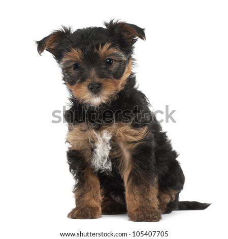 Yorkshire Terrier puppy, 7 weeks old, sitting against white background