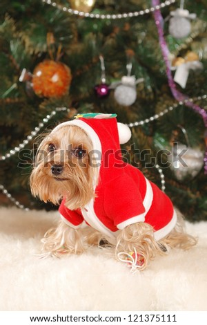 Yorkshire terrier puppy with Christmas tree - stock photo