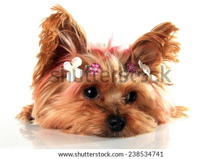 Yorkshire terrier puppy with pink dyed hair, wearing custom jewelry.   - stock photo