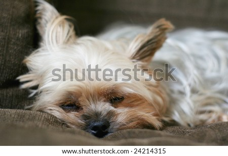 Yorkshire terrier resting on a couch
