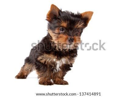 Yorkshire terrier's puppy breed on a white background. - stock photo