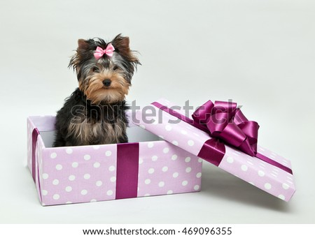 Yorkshire Terrier sits in a gift box