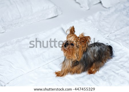 Yorkshire terrier sits on white sheets in bed mistress. Cute pets. Dog.