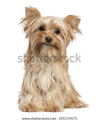 Yorkshire Terrier sitting against white background - stock photo