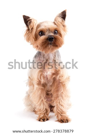 Yorkshire Terrier sitting and looking at camera against white background - stock photo